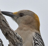 [Golden-fronted Woodpecker]