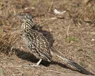 [Greater Roadrunner]